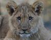 African lion cub - Olmense Zoo (Mandenno photography) Tags: dierentuin dierenpark dieren animal animals african afrikaanse lion lions leeuw leeuwen lioncub leeuwtje belgie belgium bigcat big cat olmense olmensezoo