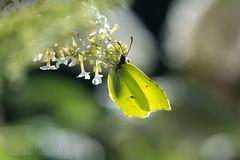 Brimstone butterfly (Bart Hardorff) Tags: 2016 ahorn barthardorff mayrhofen oostenrijk zillertal augustus kundl tirol brimstone commonbrimstone gonepteryxrhamni
