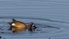 Blue-Wing Teal (Jitney58) Tags: horese wildhorses ducks migratingbirds