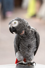 Polly pick your pocket (docoverachiever) Tags: africangrey talons pikeplacemarket bird portrait streetartist street one parrot seattle animal