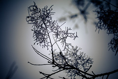 IMG_9984 (outsideartimages) Tags: frost fog winter foliage trees buds moss photography mono bare
