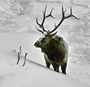 Snowy Elk (Aubrey Stoll) Tags: elk bull horns male mammal elegant fur madison canyon yellowstone national park wildlife sticks trees branches food snow ice freezing winter frost prey america usa west montana wyoming