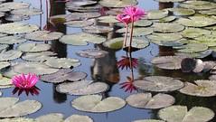 Buddha among the water lilies (raffaele pagani) Tags: sukhothai สุโขทัย albadellafelicità parcostoricodisukhothaisukhothaihistoricalparkregnodisukhothai tailandia thailandia thailand unesco unescoworldheritagesite unescopatrimoniomondialedellumanità patrimoniodellunesco patrimoniomondialedellumanità canon