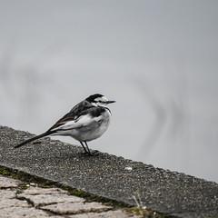 (t*tomorrow) Tags: panasonic lumix gx8 100400mm 鳥 bird