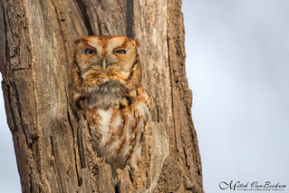 Eastern Screech Owl (Red Morph) - Explored