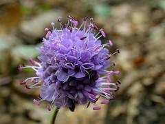 Curieuse et jolie fleur parme! (josianelavielle) Tags: fleur des champs