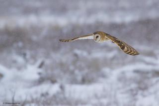 Barn Owl | Chouette effraie