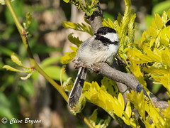 Blacked-capped Chickadee (clive_bryson) Tags: white black tree perch blackcappedchickadee clivebryson