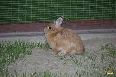 40.  Decorative rabbit / Декоративный кролик