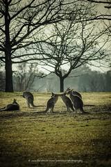 DSC04658 (John A Hunt Photography) Tags: kangaroo canberra act cbr sonya6000