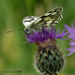 Marbled white (LPJC) Tags: uk butterfly gloucestershire marbledwhite lpjc danewaybanks