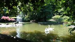 Afternoon Swim II (Michel Curi) Tags: park travel espaa nature water birds animals landscape spain europe asturias paisaje swans naturalparadise animales oviedo asturies parasonatural visitspain
