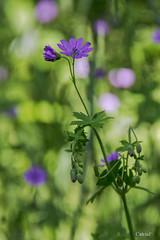 Granium sauvage (catherinef35) Tags: flower fleur geranium sauvage