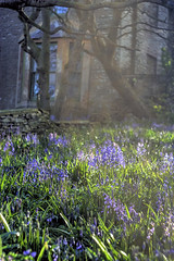 secret garden (szpiegzkrainydeszczowcow) Tags: flowers blue bells garden kwiaty ogrod ogród