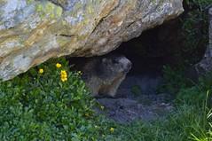 Marmotta (Irene Grassi (sun sand & sea)) Tags: nature animals switzerland tessin ticino suisse natura svizzera alp alpi animali marmots marmotte tremorgio alpecampolungo alpilepontine