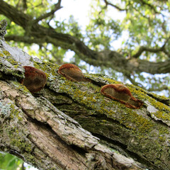 fungi on oak branch (quirkyjazz) Tags: oaktree lonetree oldoak thattree plattevillewisconsin