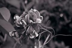 150716, Sweet pea (nathalieisaksson89) Tags: blackandwhite blur flower macro closeup canon insect bokeh sweetpea blomma pea insekt svartvit lathyrusodoratus luktärt canoneos400d luktärtor