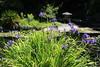 IMG_4553 (cheryl's pix) Tags: california berkeley botanicgarden botanicalgardens botanicalgarden botanicgardens berkeleyca berkeleybotanicalgarden ucbotanicalgarden universityofcaliforniabotanicalgarden universityofcaliforniabotanicalgardenatberkeley