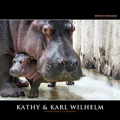 KATHY & KARL WILHELM (Matthias Besant) Tags: africa animal animals closeup mammal deutschland zoo tiere skin african background struktur structure afrika hippo hippopotamus mammals pferde pferd hippos nahaufnahme tier paarhufer hintergrund haut nilpferde nilpferd hippopotamuses dermis flusspferd tierreich hippopotamusamphibius amphibius eventoedungulates animality eventoedungulate artiodactyla afrikanischer querformat saeugetier saeugetiere hippopotamidae afrikanisch afrikanisches afrikanische flusspferde laurasiatheria grossflusspferd grossflusspferde matthiasbesant