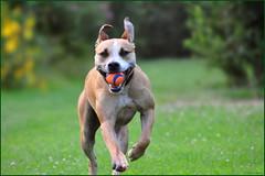 My Dog 'Dirk' (Wouter   Sere) Tags: dog hond pitbull american breed huisdier staffy amstaff lean apbt agile terriër hondenras