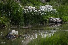 Reflet de coton (iandub74) Tags: mountain lake alps flower reflection fleur montagne alpes altitude lac coton reflet aravis peyre linaigrette bargy herbecoton iandub iandub74