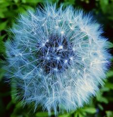 Dandelion fuzz, make a wish. (M.K.Lee) Tags: seeds flowers flowerseeds dandelion makeawish