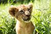 Portrait of lion cub (korzun) Tags: animal baby bigears closeup cub face greengrass lion lionet little mammal nice portrait predator russia small sweet taigan wild wildlife young zoo