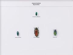 Coleoptera Buprestidae (nmbeinvertebrata) Tags: nmbe0091 coleoptera buprestidae conognathapretiosissima psilopteraattenuata euchromagigantea psilopterasp exhibition