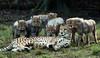 cheetah Burgerszoo JN6A9288 (j.a.kok) Tags: cheetah jachtluipaard burgerszoo kat cat predator afrika africa mammal zoogdier