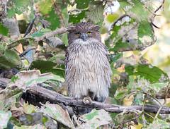 Brown Fish-Owl (rhysmarsh) Tags: bird brownfishowl india ketupazeylonensis pannanationalpark lifebird perched babupurkalan madhyapradesh in