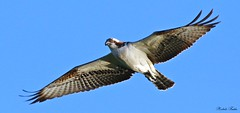 Osprey - Falco Pescatore (Pandion haliaetus) (Michele Fadda) Tags: canoneos70d sigma150600mmf563dgoshsm|contemporary015 sigma150600c sardinia sardegna italy falco osprey falcopescatore pandionhaliaetus free inliberta uccello bird ring rapace raptor volatile volo flight nature natura faunaprotetta avifauna photoscape