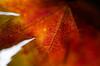 301/366 - Autumn up close (Spannarama) Tags: 366 october leaf autumnleaf japanesemaple redleaf closeup macro veins detail autumncolours