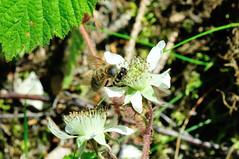 Fleur et abeille (OlivierGa) Tags: hautesavoie servoz leshouches château saintmichel macro fleur abeille insecte