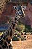 Giraffe (R.O. - Fotografie) Tags: giraffe erlebniszoo zoo hannover outdoor closeup close up flecken stains panasonic lumix dmcfz1000 dmc fz1000 fz 1000 tier animal big gros