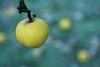 Pommes tardives (martine_ferron) Tags: pomme hiver