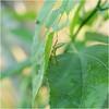 Mantis (b. inxee♪♫) Tags: mantis macro insect