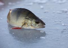(Pho2s4me) Tags: fisk fish abbor vinter winter pilke pilking vinterfisk is ice