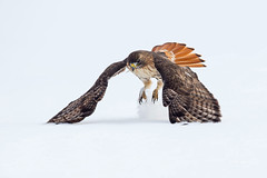Missed opportunity (Mike Veltri) Tags: winter canon redtail hawk raptor birds avian hunter hunting wild ontario canada
