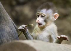 Baby Mandrill (San Diego Shooter) Tags: mandrill babyanimal babymandrill sandiego sandiegozoo zoo