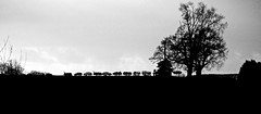Scrapyard Silhouette Landscape- Mono (Gerry Hat Trick) Tags: mono black white scrapyard cheshire shropshire union canal skyline shadows growing inthe gaps panasonic45200mmf456ois scrap cars wrecks landscape sky line towpath silhouette trees lumix g3 horizon walk hike walking hiking llangolen hurleston shadow hedge row beetles ants marching