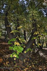 Noci del Caucaso, Caucasian walnuts (paolo.gislimberti) Tags: parchiurbani urbanparks wood bosco alberi trees sottobosco undergrowth foglie leaves autumn autunno autumnalcolors coloriautunnali