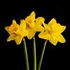 Daffodils (Linton Snapper) Tags: daffodil yellow flower leafaptusii7 phaseone lintonsnapper
