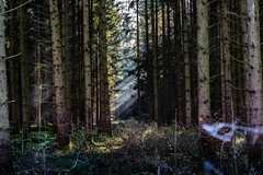 Get it while You can (*Capture the Moment*) Tags: 2016 forest licht lichtstrahlen light lightbeam rayoflight sonnenstrahlen sonya7m2 sonya7mii sonya7mark2 sonya7ii sonyilce7m2 sonysel90m28g wald winter
