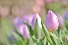 winter tulips (snowshoe hare*(slow)) Tags: dsc0763 pastel winter tulips tulip flowers botanicalgarden 海の中道海浜公園 チューリップ