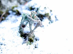 pixie cups in snow (chaerea) Tags: bc canada cladonia forest fungi lichen mycology nature woodland