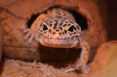 Keep smiling! (Mr G's pics) Tags: leopardgecko reptile