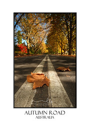 Autum leaves on road in the Fall Season (sugarbellaleah) Tags: road fall season autumn leaf colours red yellow golden deciduous maple decay dead street mountain nature environment mtwilson australia bitumen tar trees beautiful scenic pretty orange lines