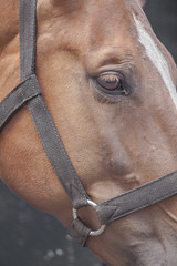 Wemmel : Jaarmarkt, championship for horses #9 (foto_morgana) Tags: animals belgie belgique belgium cheval closedeyes horse horsehead jaarmarkt2016 mammalia mammals mammifères outdoor paard säugetiere wemmel zoogdieren