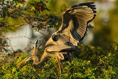 Hold on (ChicagoBob46) Tags: greatblueheron heron bird veniceareaaudubonsocietyrookery rookery nature wildlife