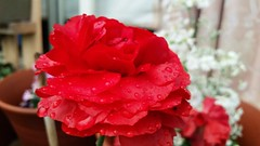Sweet Blossom. (The Keeper.) Tags: flower red bright brilliant vibrant petals details texture layers pattern focus white garden light edit photography cold wet rain water raindrops droplets
